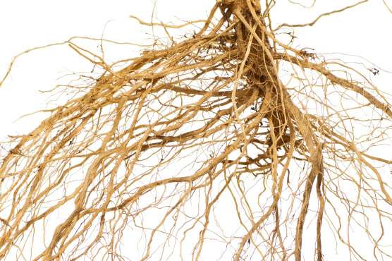 Roots in drains